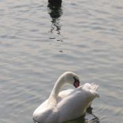 Австрия-2009. Traunsee. Птицы