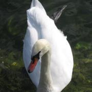 Австрия-2009. Traunsee. Лебедь