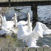 Австрия-2009. Gmunden, Traunsee. Лебеди