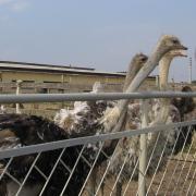 Тяжела и неказиста жизнь страуса на ферме