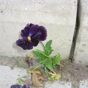 ... прорастают цветы сквозь асфальт